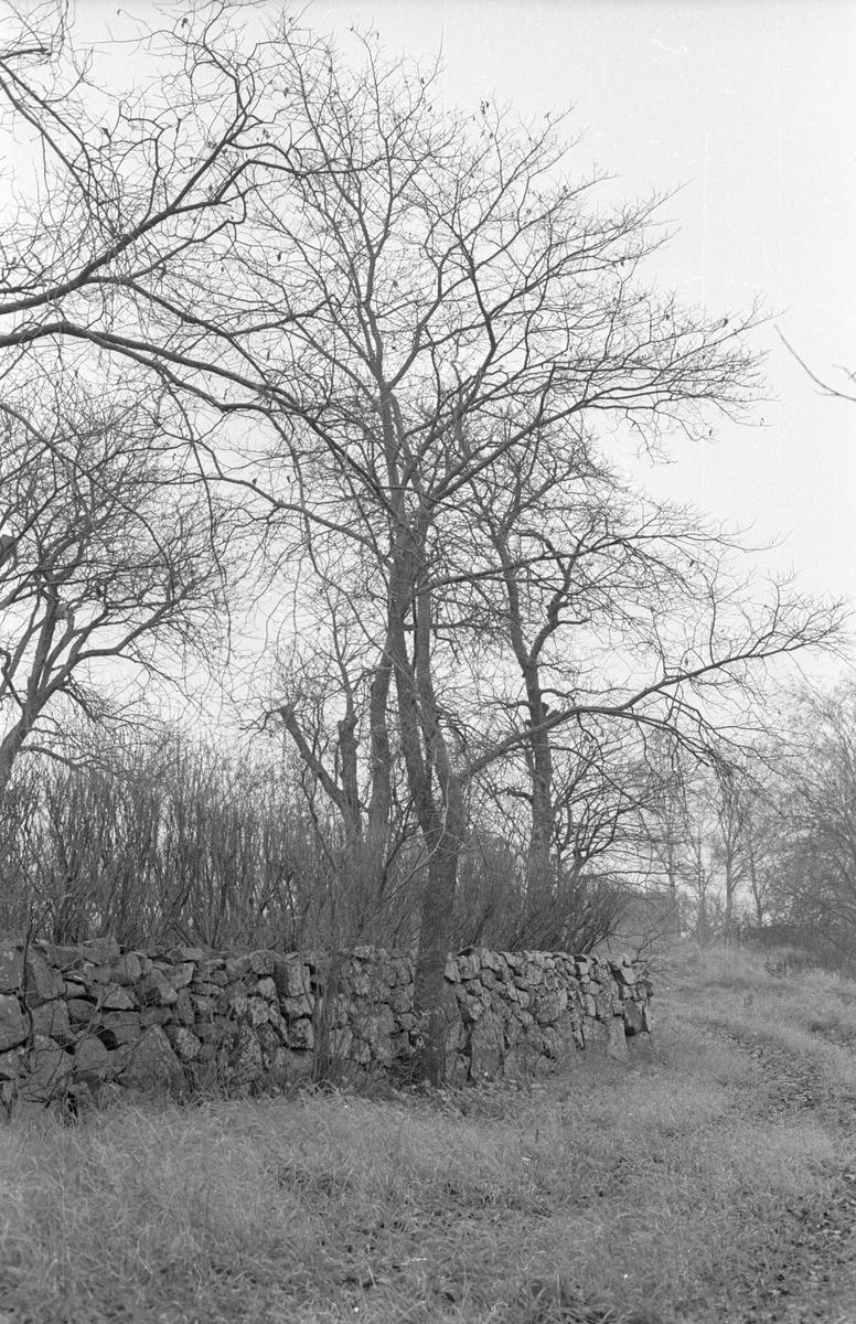Häck och stenmur mot igenväxande bruksväg, Sällinge 1:6, Sällinge, Danmarks socken, Uppland 1978