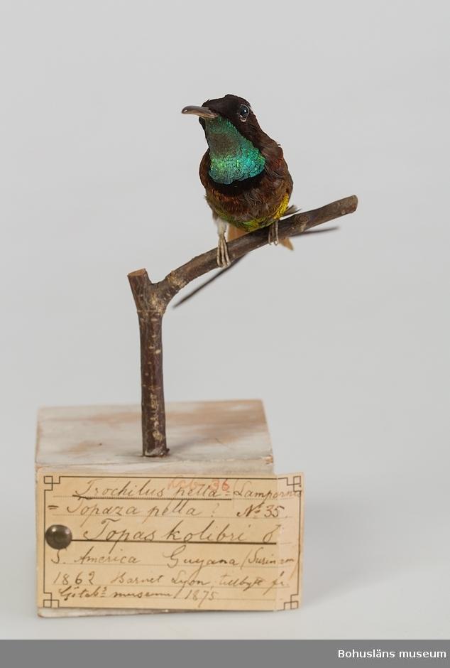 Hane av en art inom familjen kolibrier som förekommer i regnskogarna i norra Brasilien, Surinam, Guyana, Franska Guyana och Venezuela.