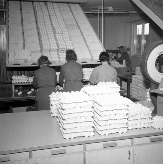 Kontroll och packning av ägg på Äggcentralen, Uddevalla, i mars 1959