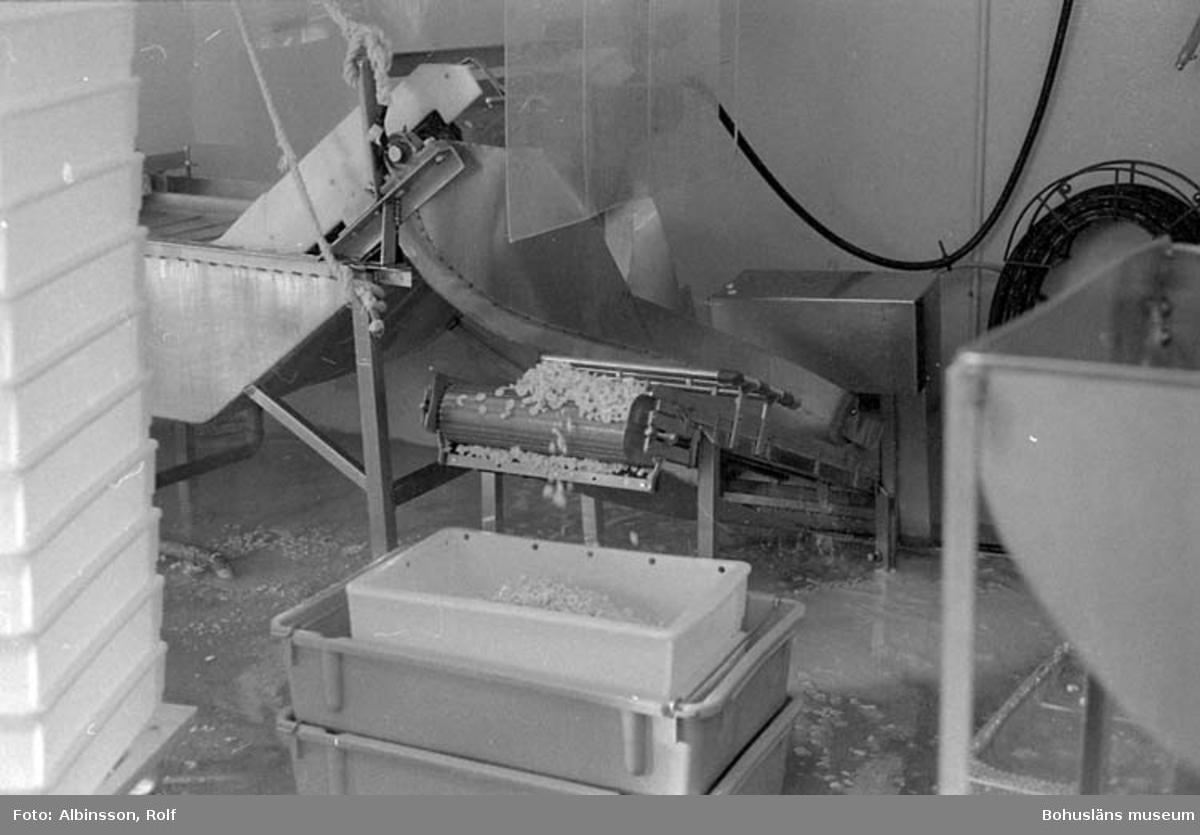 """Enligt fotografens noteringar: """"Här kommer räken på ett löpande band ifrån kokningsmaskinen."""" Fototid: 1995-11-02."""