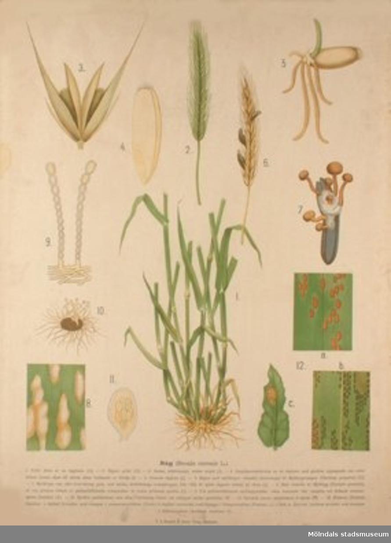 Biologi.Råg.Målat av Henrietta Sjöberg.J. Eriksson. Botaniska väggtavlor. 2:a upplagan.Lit. o. tr. i Gen. stab. lit. anst.