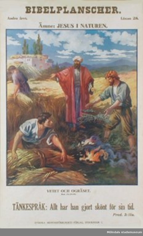 Kristendomskunskap.Bibelplanscher: Jesus i naturen.Vetet och ogräset. (Matt. 13:24-30).