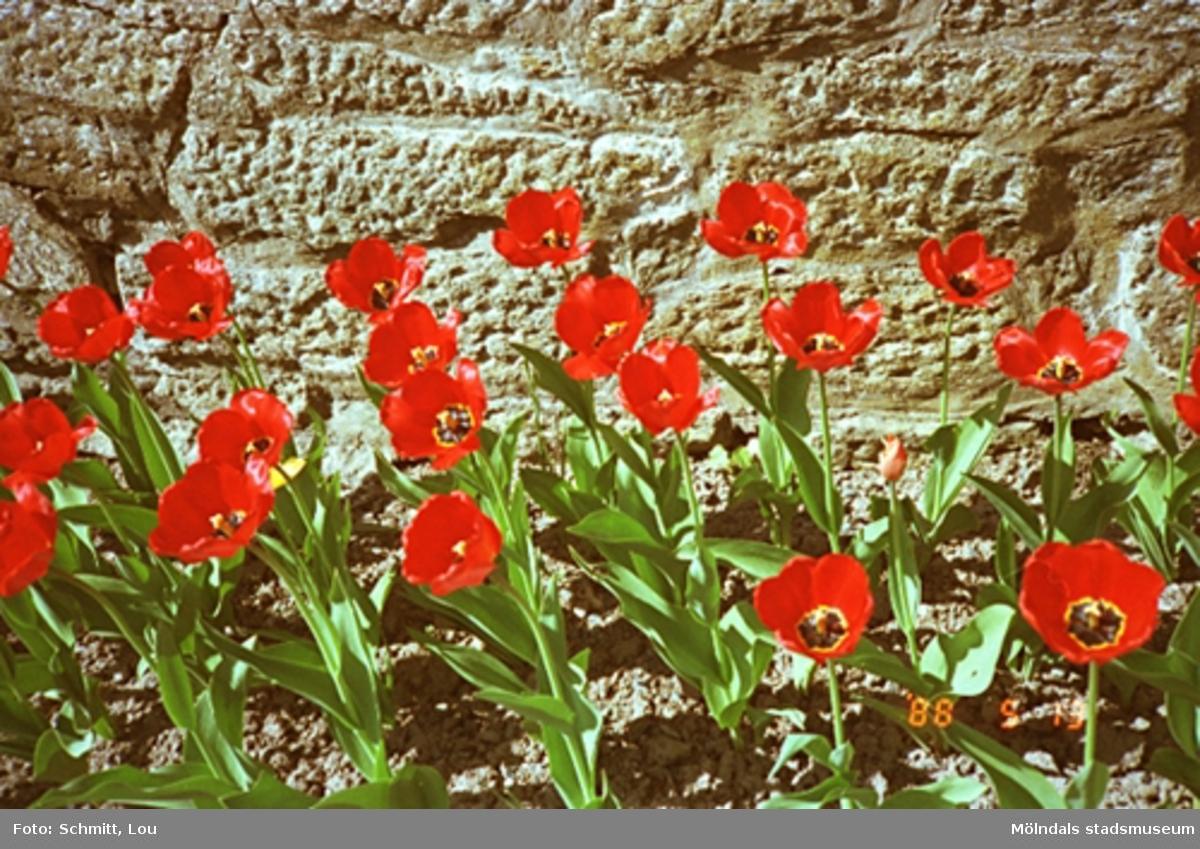 En rabatt med röda blommor. Blommorna växer utefter en mur vid Gunnebo slott.