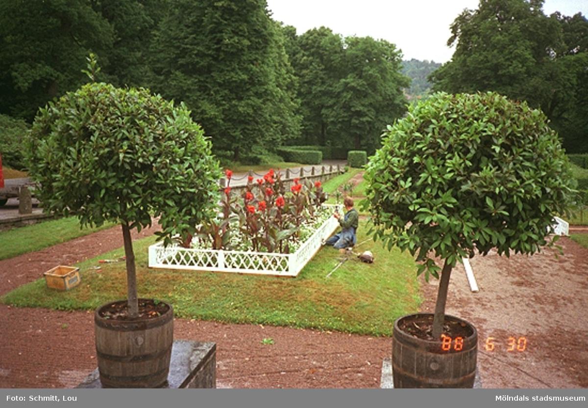 En del av parken vid Gunnebo slott. I förgrunden ser man två rundklippta buskar ståendes i tunnor. Bakom dessa ligger en  gräsmatta med en staketomgärdad blomsterrabatt i. En man kontrollerar staketet till rabatten.