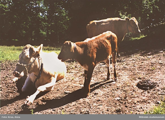 Kimmersbo 1:8. Bild på två kor och kalv.Bebyggelsen ligger på 1:8, men fastigheten omfattar även 1:5 m.fl.