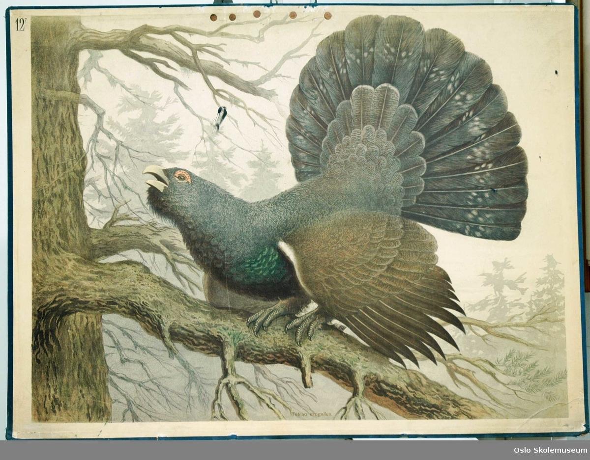 En tiur/storfugl (Tetrao urogallus) på en gren i et tre.