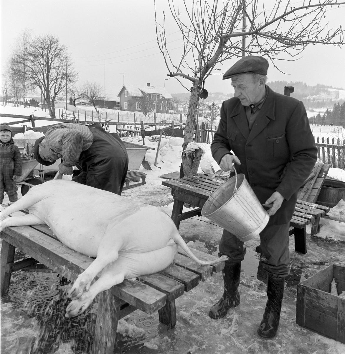 Dokumentasjon av griseslakting i 1977, på Lunde i Gaupen, Ringsaker. Bygdeslakter. Bygdeslakter Johs. Rosenborg. Kaldt vann helles på for å kjøle ned grisen før oppdeling.