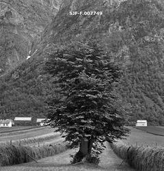 Alm (Ulmus glabra) i kulturlandskap på eiendommen Austigard