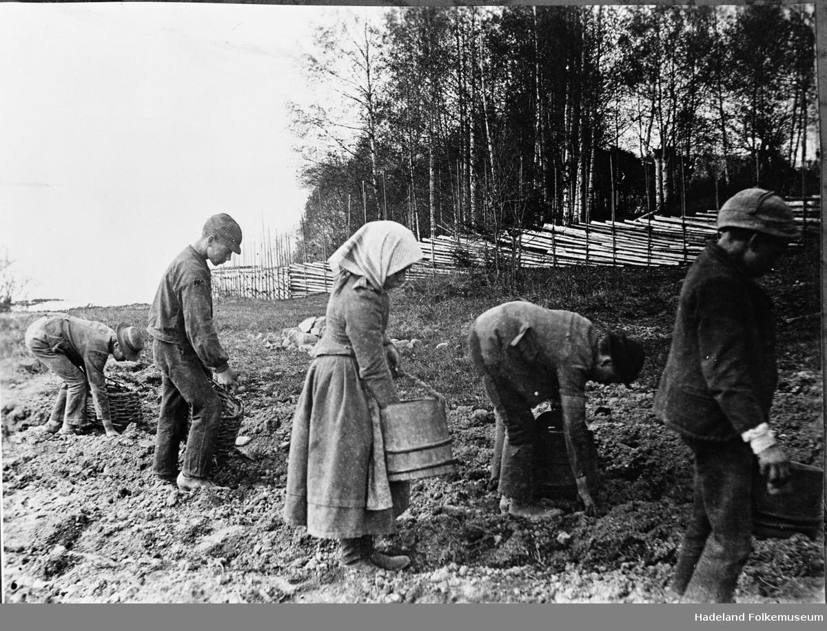 Fire gutter og ei jente tar opp poteter. Meiskorger og lagget bøtte.