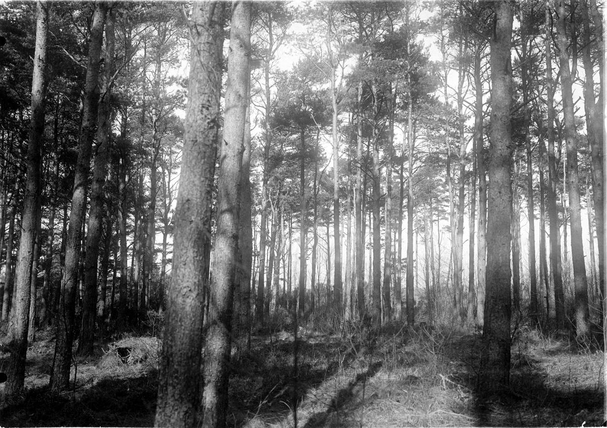 Biotop och boplats för korp, Cirvus c. corax. Fotot taget 29:mars 1907.