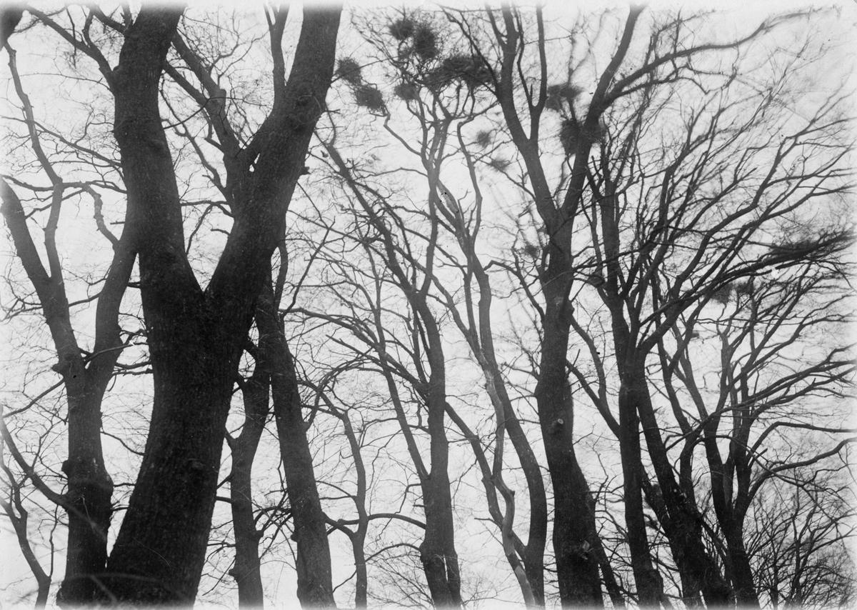 Bon av Råka, Corvus Frugileus. 18 april 1921