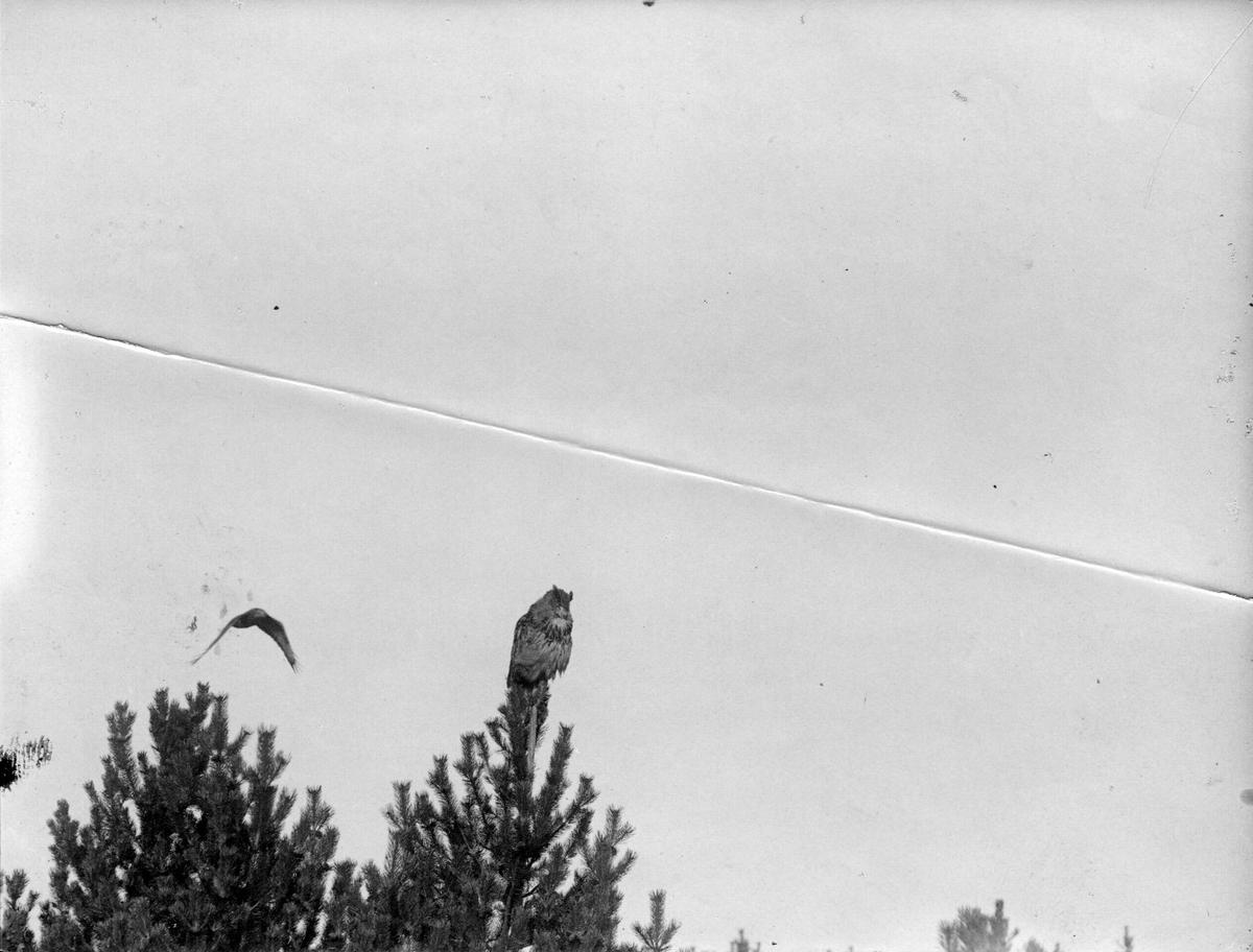 Ormvråk, Buteo b. buteo. Ormvråk och uv, 21 oktober 1917