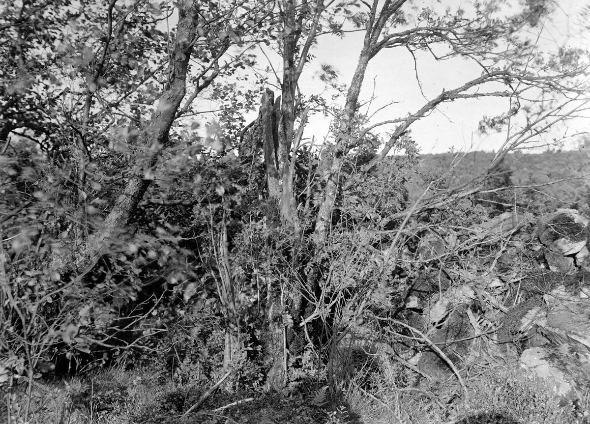 Boplats för göktyta, Jynx torquilla, 15/6 1915.