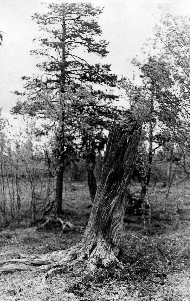 Stubbe innehållande gammalt salskrakebo. Väster om Svänjesjöarna, Arjeplog 20/6 1931,  P.O Swanberg