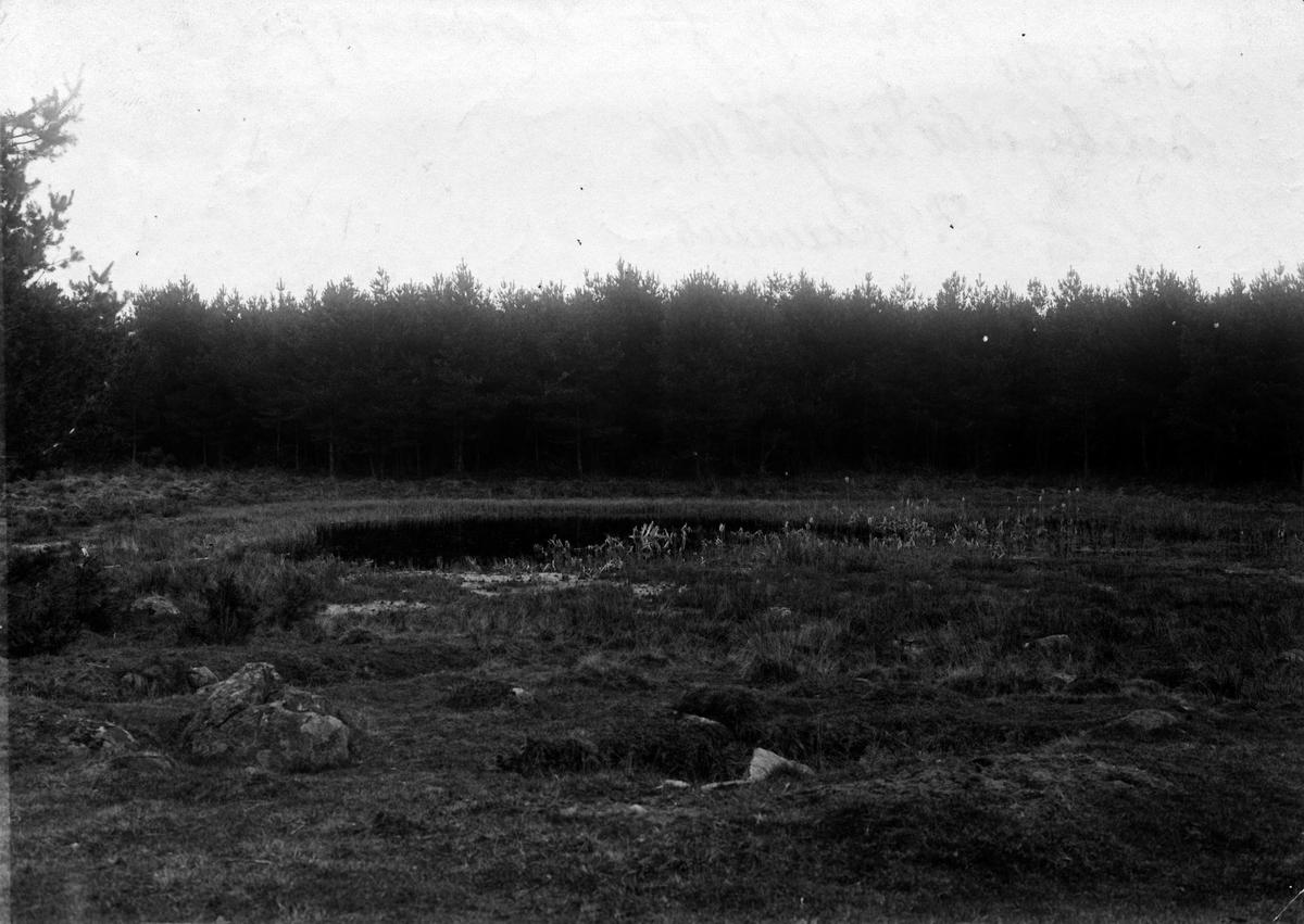 Biotop för hornuggla, strix otus. 22 april 1906.