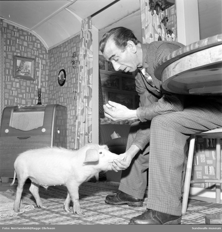 """Den romske mannen Columbus med sin åtta månaders tama gris """"Mercedes"""". Fotograferat för Expressen."""