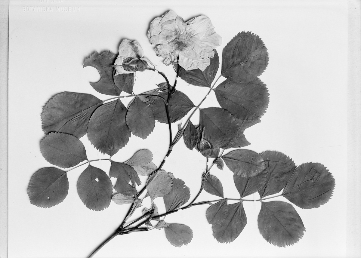 Torkad och pressad ros, Uppsala 1944
