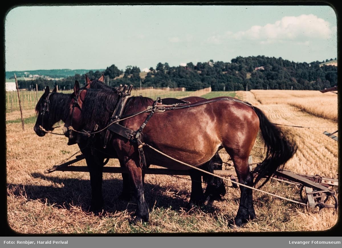 Skuronn med hest.