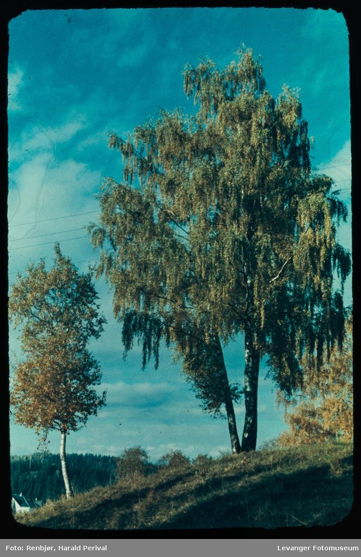 Bjørketrær i Lillemarksbakkene.