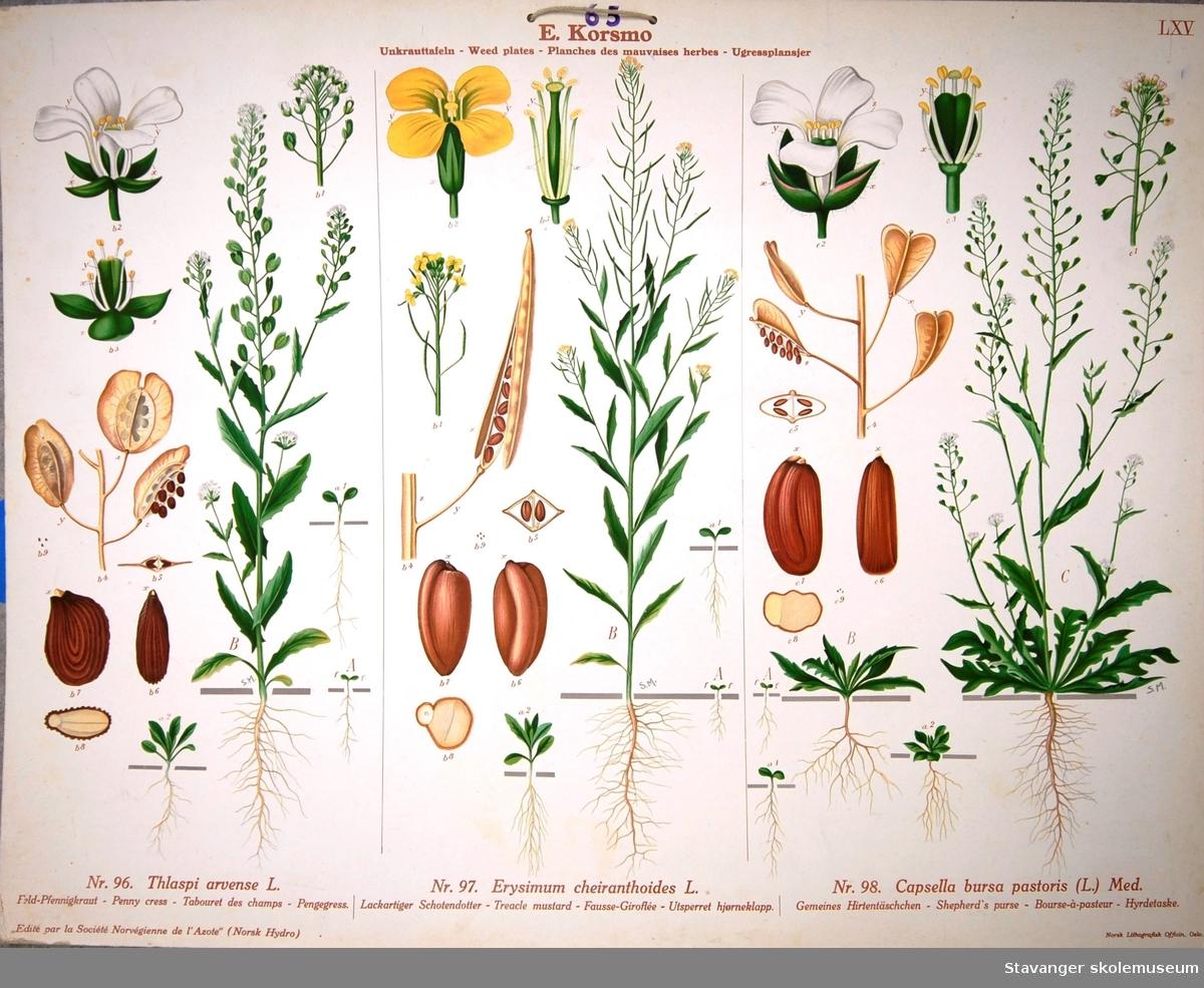 Produksjon av planter: Pengegress, utsperret hjørneklapp og hyrdetaske.