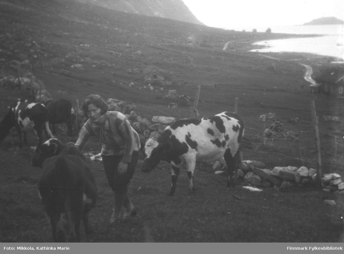 Kathinkas søster Hanna med kyr i Skjelfjord i Lofoten