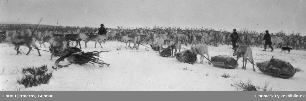 En flokk med reinsdyr, noen med sleder. Tre samer og en gjeterhund ses også på bildet som er tatt i april/mai 1948. Personer og sted er ukjent.