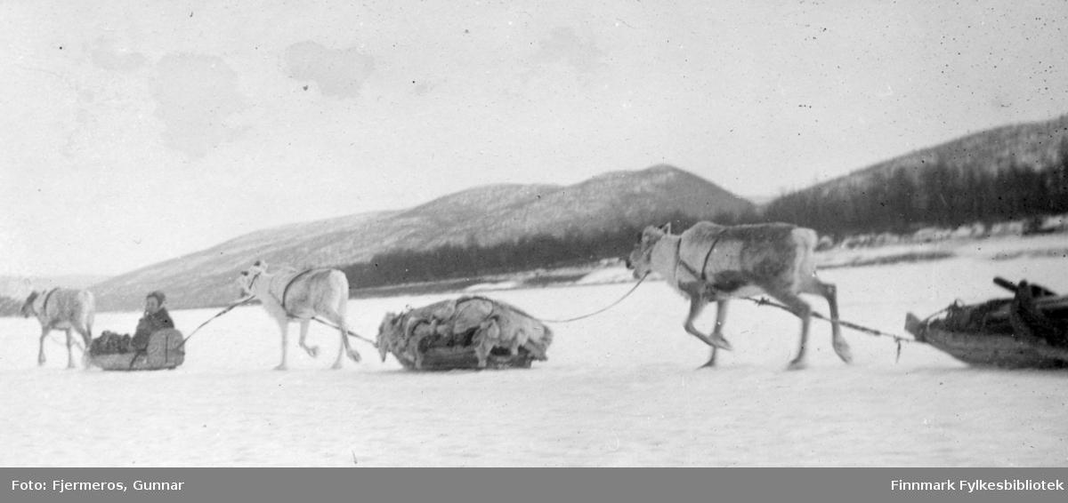Tre reinsdyr med sleder løper på rekke over vidda. I den forreste sleden sitter en ukjent person. Stedet er også ukjent.