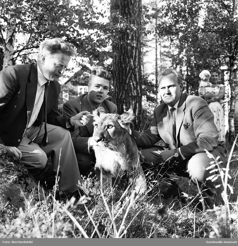 Elva månader gamla lejonet Raya mellanlandar i Sundsvall tillsammans med sin ägare Jan Högberg, naturvetare och författare till bland annat böckerna Tacka vet jag djur och Mitt keliga lejon och annat kattliv. Målet för resan är Ånge där de båda ska medverka i den tredagarskarneval som Ånge Lions Club arrangerar. Besöket i Sundsvall tar plats i ingenjör Torsten Hedlunds (IMA-tvätten) trädgård i Haga och på första bilden är det hans dotter, konstnärinnan Git Ahrenstedt, som passar på att avbilda lejonet. Hennes söner Örjan (bakom björkens gren) och Stefan ville naturligtvis klappa det tama djuret. På den andra bilden poserar Raya med Torsten Hedlund, Jan Högberg och en okänd herre.