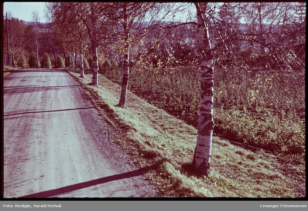 Bjørkealle i Skogn.