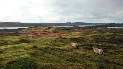 sau i kystlandskap. Foto/Photo