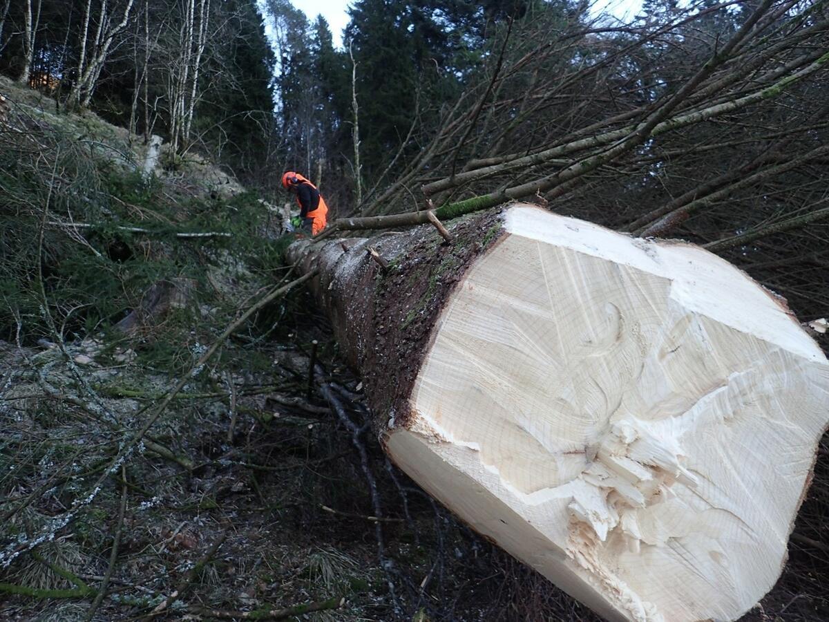 Nedhogd tre i skog, person arbeider i bakgrunnen (Foto/Photo)