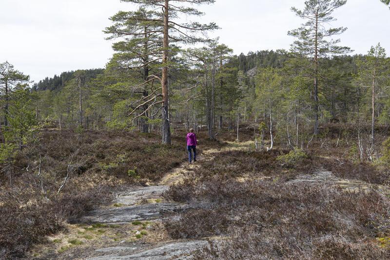God sti på gammel kjerrevei østfra mot Henschensetra. Knutehåvet er åsryggen bak de to furuene. (Foto/Photo)