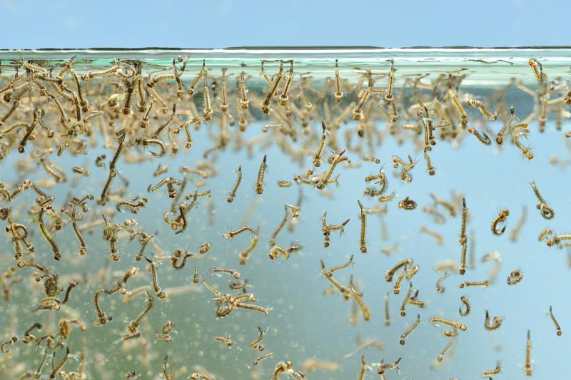 Flommyggen trives i varme våtmarksområder og den er aktiv på dagtid. Foto: Øystein Søbye/norsknatur.no (Foto/Photo)