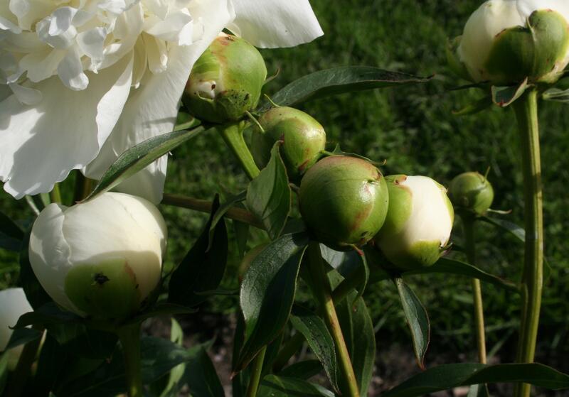 Paeonia lactiflora 'Duchesse de Nemours' (Calot 1856) (Foto/Photo)