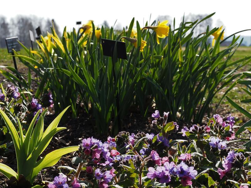Narcissus Saint Keverne (Foto/Photo)