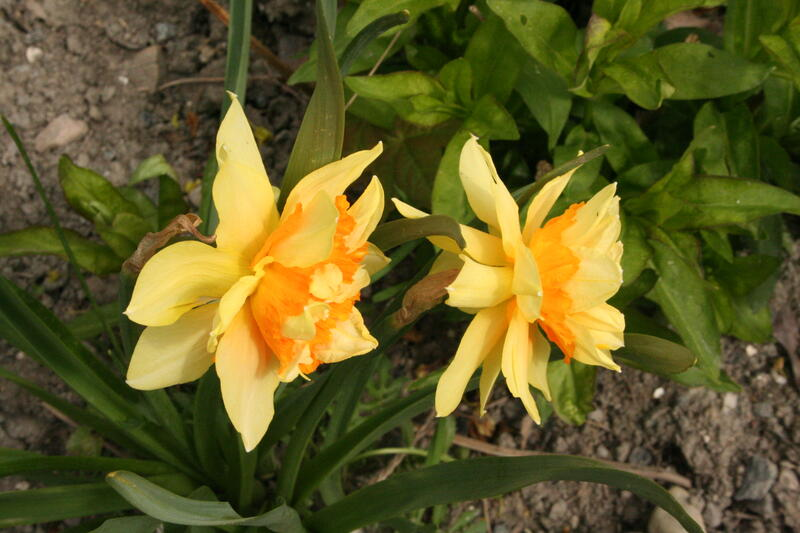 Narcissus 'Butter and Eggs' (Foto/Photo)