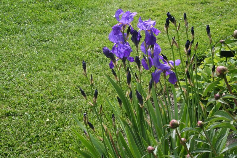 GH 2005 20 Iris 'Sapphire' (Foto/Photo)
