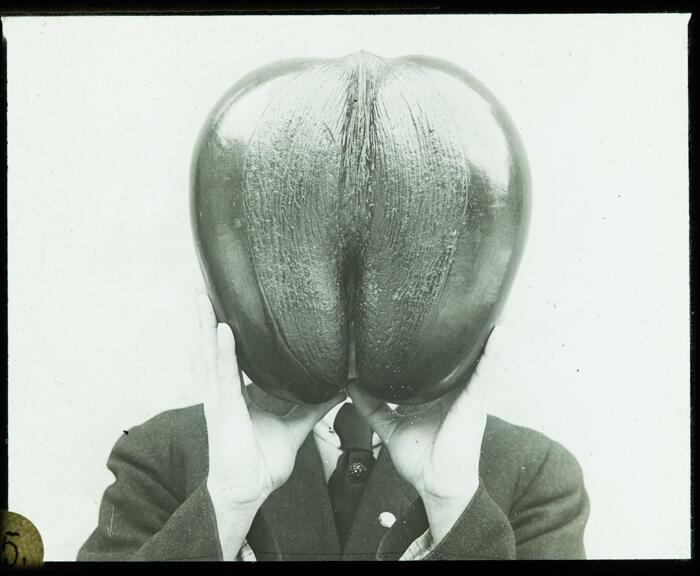 Coco de mer nøtt fra Seychellene ca 1919 (Foto/Photo)