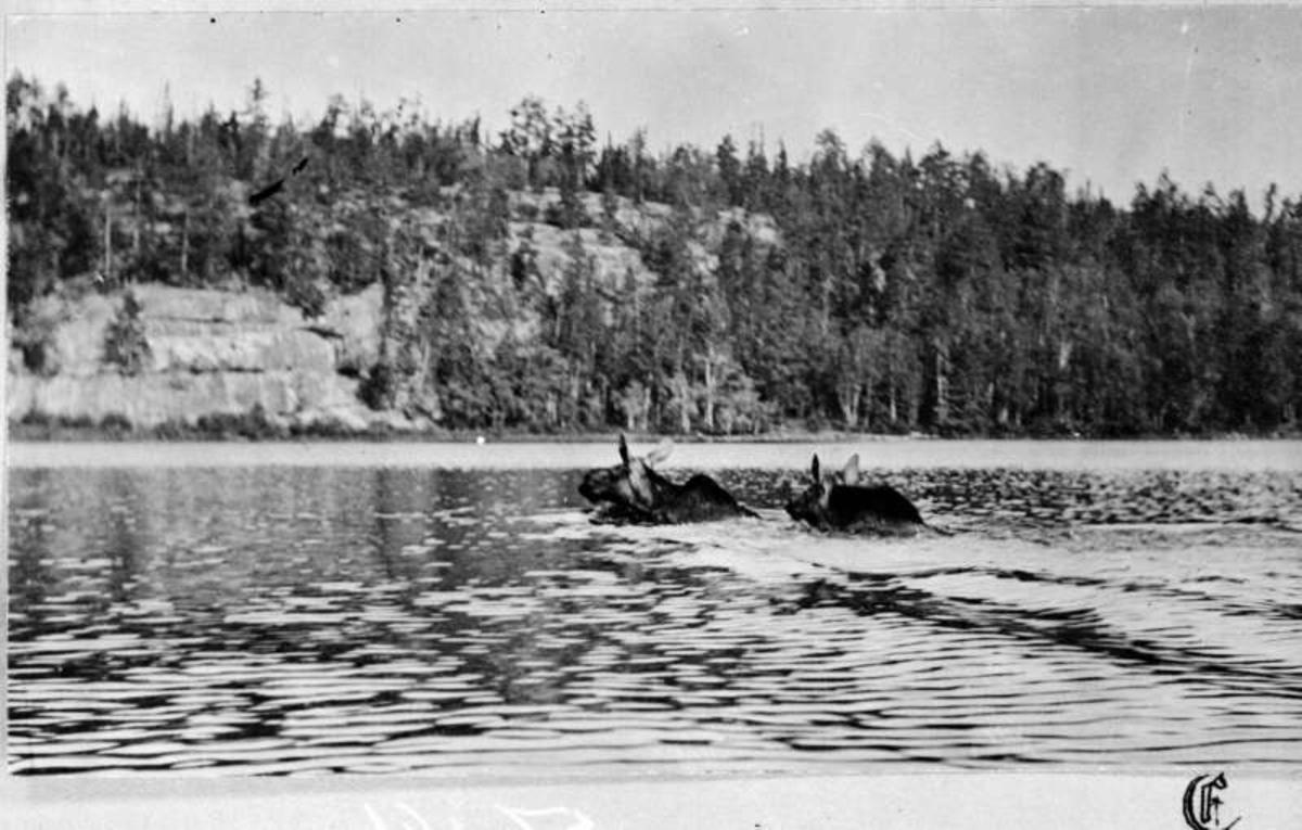 USA. Nord-Dakota? Bilde 1: Elg som svømmer mot land. Bilde 2: To elger som svømmer