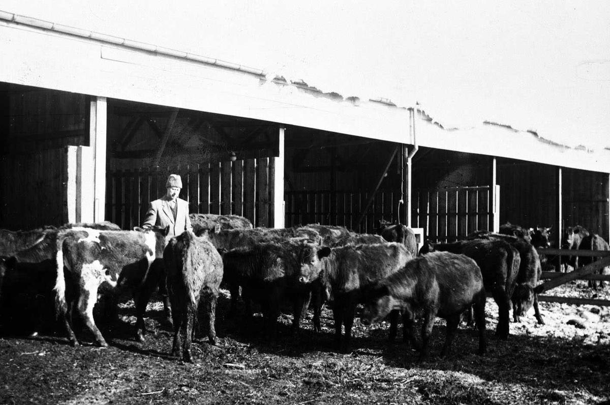Hellerud, utegående kviger Dyrene samlet foran åpen driftsbygning