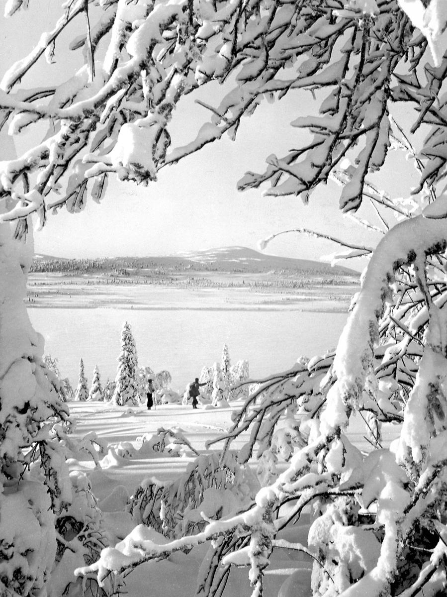 Vintermotiv fra Birkebeinerløypa, Ringsaker. Snødekte trær. Skiløpere.