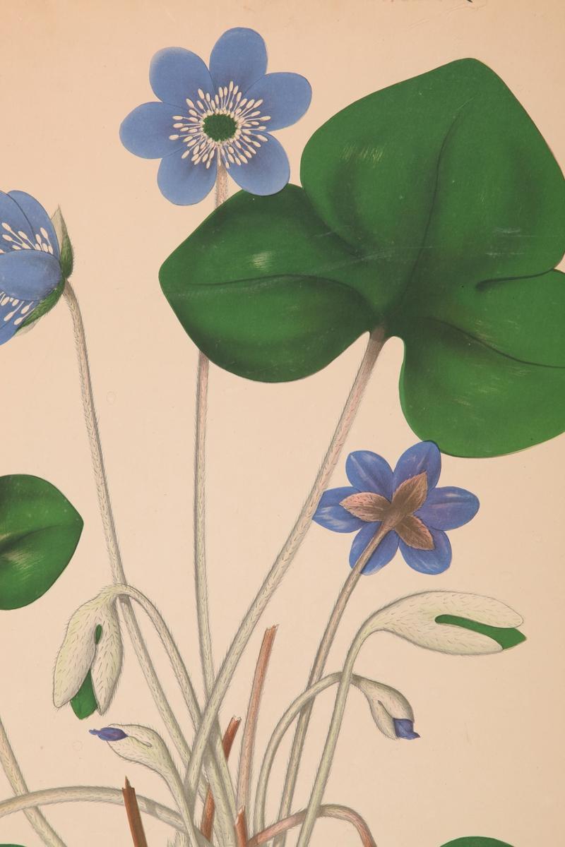Blomst. Blåveis