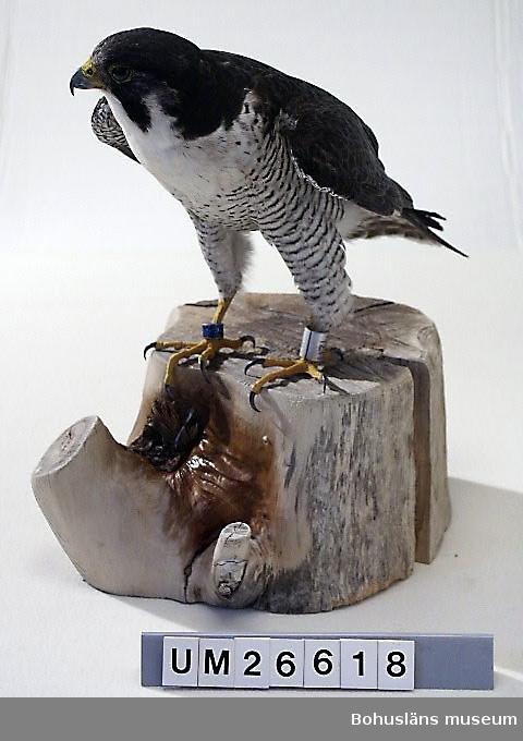 """Pilgrimsfalk, hane. Dödad vid en revirstrid med en pilgrimsfalkshona den 14 mars 1995. Tillhörde kronans vilt. Museet fick tillstånd av Naturvårdsverket att behålla fågeln. Beslut 1995-04-06 Dnr 360-1638-95 Nf och 360-1673-95 NF.  Monterad i december 1995 av Carl Jentzen, Hedekas. C. Jentzens kommentarer på medsänd lapp: Stjärt xxx v. [vänster] underben 2 hagel 3mm. Huden läkt. Läkt fraktur på radius vänster. Skavsår v. [vänster] baktå p.g.a. vass kantad ring. Ett hagel kvar har kommit bort; ett finns bevarat i plastpåse med """"blixtlås"""" som förvaras tillsammans med montaget."""