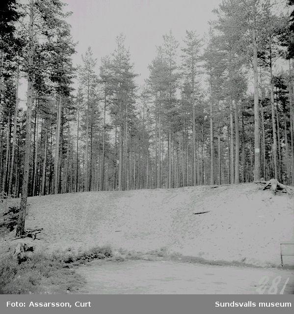 Tallskog vid Sandarna.