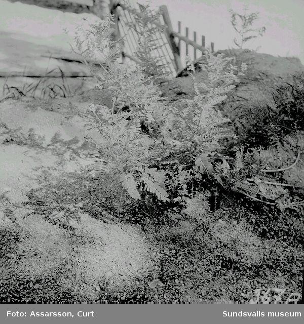 Växten smällved, Astragalus penduliflores, på Byberget i Haverö.
