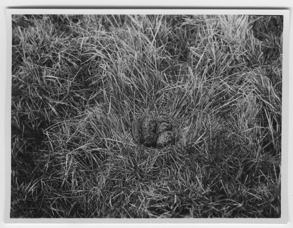 'Bo med 4 st ägg av tofsvipa. Närbild. :: Text på baksidan: ''Ett typiskt vipbo. Ca 20 par vipor häckade på strandängarna i norr och väster. De första äggen funnos den 26 april, innan snön ännu försvunnit.'' ::  :: Ingår i serie med fotonr. 2305-2346.'