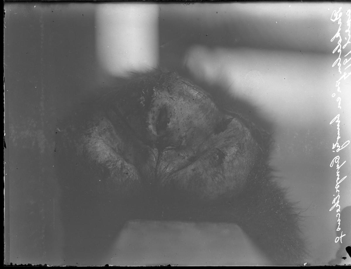 'Bildtext: ''Bakdelen på en brunstig Cynopithecus, hona.'' Närbild av bakdelen på en apa, hona. ::  :: Ingår i serie med fotonr. 5124:1-4.'