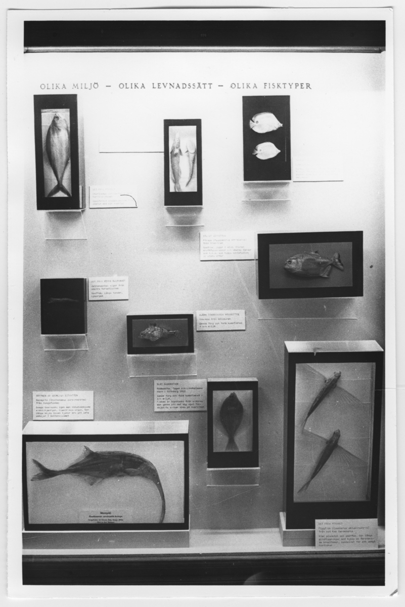 'Utställningsmonter med titel ''Olika miljö- olika levnadssätt - olika fisktyper''. 9 olika preparat/avgjutningar av fiskar som t.ex. flygfisk, mormyrid. ::  :: Ingår i serie med fotonr. 6963:1-12.'