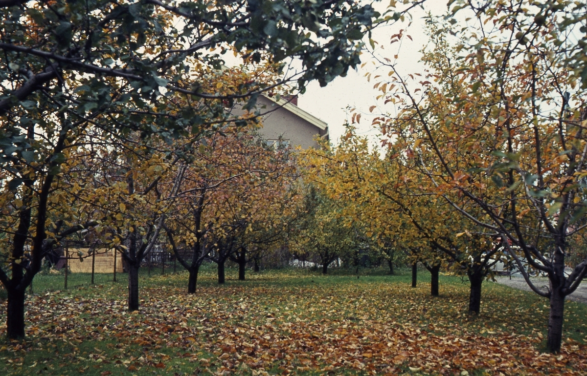 Trädgård med träd ( höst ).