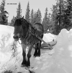 Skogshest på tømmerveg i Vestre Gausdal vinteren 1967.  Hest